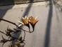 Toona de Chine – Schaerbeek, Parc Josaphat –  25 Mars 2014