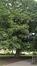 Ptérocaryer à feuilles de frêne – Schaerbeek, Avenue Huart Hamoir et Square Riga, Square François Riga –  24 Septembre 2015