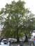 Platane à feuille d'érable – Schaerbeek, Chaussée de Haecht –  16 Octobre 2012
