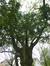 Chêne de Turner – Anderlecht, Parc de Scherdemael, parc –  16 Novembre 2015