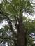 Arbre aux quarante écus – Saint-Josse-Ten-Noode, Jardin Botanique –  26 Octobre 2009