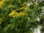 Savonnier de Chine – Saint-Josse-Ten-Noode, Jardin Botanique –  12 Août 2013