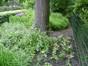 Liriodendron tulipifera var. integrifolia