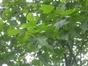Liriodendron tulipifera var. integrifolia – Saint-Josse-Ten-Noode, Jardin Botanique –  11 Juin 2013