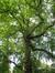 Platane d'Orient – Saint-Josse-Ten-Noode, Jardin Botanique –  19 Juin 2009