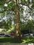 Platane à feuille d'érable – Saint-Josse-Ten-Noode, Jardin Botanique –  19 Juin 2009