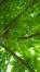 Pterocarya stenoptera – Saint-Josse-Ten-Noode, Jardin Botanique –  15 Mai 2018