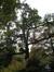 Chêne du Japon – Saint-Josse-Ten-Noode, Jardin Botanique –  26 Octobre 2009