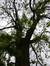 Sophora du Japon – Saint-Josse-Ten-Noode, Jardin Botanique –  09 Mai 2014