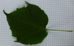 Tilia platyphyllos 'Vitifolia'