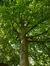Tilleul à petites feuilles – Saint-Josse-Ten-Noode, Square Armand Steurs, Square Armand Steurs –  14 Août 2013