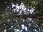Sequoia géant – Anderlecht, Parc de Scherdemael, Avenue Capitaine Fossoul –  30 Juillet 2008