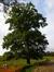 Chêne pédonculé – Uccle, Rue de Percke, 125a –  04 Octobre 2013