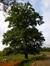 Chêne pédonculé – Uccle, Rue de Percke, 125a –  01 Mai 2011