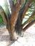 Chamaecyparis lawsoniana 'Glauca' – Uccle, Avenue des Aubépines, 42 –  02 Février 2015