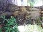 Platane à feuille d'érable – Uccle, Domaine Allard, Rue Victor Allard, 88 –  18 Février 2013