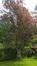 Prunus cerasifera f. atropurpurea