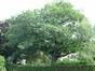Chêne rouge d'Amérique – Uccle, Rue Langeveld, 63 –  25 Juin 2003