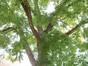 Sophora du Japon – Uccle, Rue du Kriekenput, 14 –  18 Septembre 2012