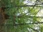 Platane à feuille d'érable