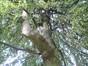 Hêtre pleureur – Uccle, Parc Montjoie –  22 Août 2012