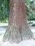 Sequoia géant – Uccle, Parc Montjoie –  22 Août 2012