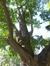 Arbre aux quarante écus – Uccle, Parc Raspail, Rue de Stalle –  20 Septembre 2016