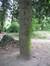 Ilex aquifolium 'Pyramidalis' – Uccle, Parc Raspail –  14 Avril 2011