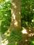 Tulipier de Virginie – Uccle, Parc de la Sauvagère –  05 Juin 2015
