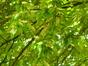 Cerisier noir – Uccle, Parc de la Sauvagère –  05 Juin 2015