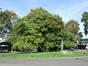 Chêne rouge d'Amérique – Uccle, Square Charles Lagrange –  22 Septembre 2010