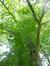 Châtaignier – Uccle, Parc de Wolvendael –  13 Mai 2016
