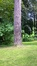Pin noir – Uccle, Parc de Wolvendael –  25 Mai 2016