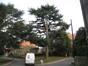 Cèdre de l'Himalaya – Watermael-Boitsfort, Cités-Jardin Le Logis et Floréal, Rue des Renoncules –  10 Janvier 2010