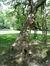 Catalpa à feuilles d'or – Watermael-Boitsfort, Parc du Jagersveld –  24 Août 2017