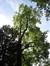 Tulipier de Virginie – Watermael-Boitsfort, Parc du Jagersveld, Rue Philippe Dewolfs –  22 Septembre 2009