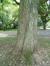 Phellodendron de l'amour – Watermael-Boitsfort, Parc du Jagersveld, Avenue Delleur –  23 Juillet 2002