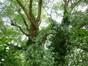 Saule blanc – Watermael-Boitsfort, Cités-Jardin Le Logis et Floréal, Avenue des Archiducs –  13 Juin 2014