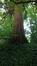 Sequoia géant – Watermael-Boitsfort, Chaussée de La Hulpe, 181 –  12 Juillet 2017