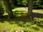 Populus x jackii – Watermael-Boitsfort, Parc du Leybeek –  06 Août 2015