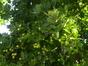 Chêne de Hongrie – Watermael-Boitsfort, Parc du Leybeek –  06 Août 2015