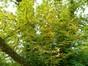 Marronnier commun – Watermael-Boitsfort, Parc de la Royale Belge, Boulevard du Souverain, 25 –  23 Août 2012