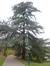 Cèdre du Liban