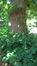Tilleul à larges feuilles – Watermael-Boitsfort, Parc Tournay - Solvay –  18 Juillet 2017