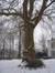 Oosterse plataan – St.- Lambrechts - Woluwe, Eigendom Voot, Vootstraat, 67 –  13 Januari 2010