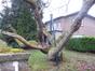 Catalpa à feuilles d'or – Woluwé-Saint-Lambert, Jardin privé rue de la Rive, Rue de la Rive, 77 –  10 Février 2015