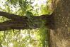 Robinier faux-acacia – Woluwé-Saint-Pierre, Propriété Crousse –  18 Octobre 2021