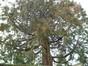Sequoia géant – Woluwé-Saint-Pierre, Clos des Salanganes, 1 –  03 Mai 2012