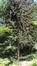 Araucaria du Chili