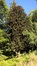Araucaria du Chili – Auderghem, Jardin  Massart –  04 Juillet 2019